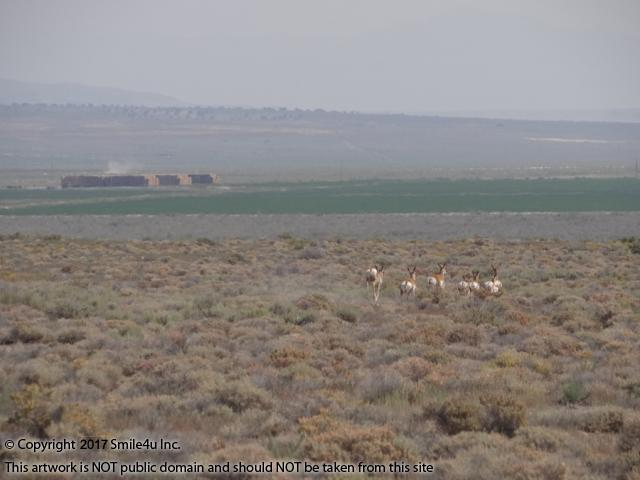 <B>A herd of antelope raced away from us to the hay fields of the Gamble Ranch when we explored the area in August 2015! I always see antelope when I visit the Pilot Valley and it