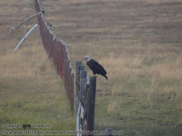 <B>I spotted this bald eagle sitting on a fence post along Oregon Pines Road. There