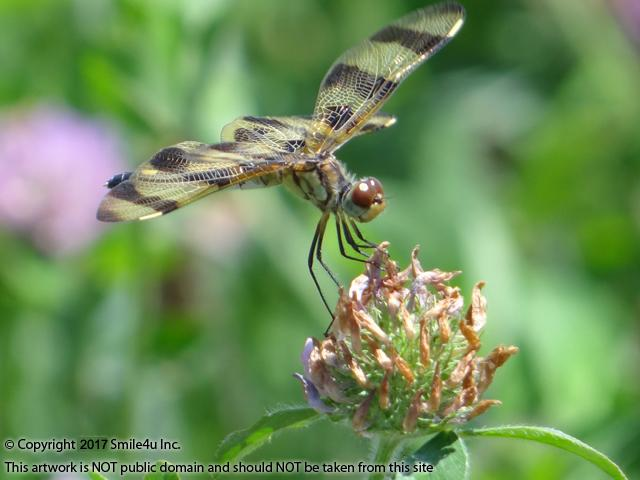 <B>A young Halloween Pennant Dragonfly with yellow wings and dark bands. They get their name from the adults which are orange-yellow with dark brown bands. Great detail of the dragonfly holding the flower with its front hands ever so delicately!