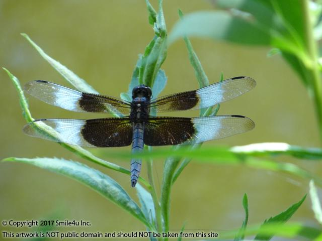 <B>A male Widow Skimmer Dragonfly at the Dan Lusk Park which sits about 1/10 of a mile from these two lots for sale in Mound City, Kansas at Sugar Valley Lakes.  The dragonfly starts to grow in water and then moves into the air and flies and is a symbol of transformation and change to many. So pretty!
